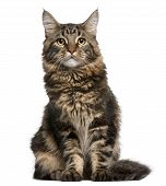 picture of domestic cat  - Maine Coon cat 6 months old sitting in front of white background - JPG