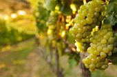 Постер, плакат: Hanging Bunches Of Green Wine Grapes