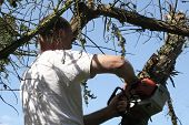 stock photo of tree trim  - tree surgeon pollarding a damaged fir - JPG