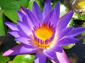 pic of hydrophytes  - purple waterlily - JPG