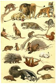 picture of opossum  - Mammals and forest animals vintage engraved illustration - JPG