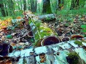foto of bracket-fungus  - Cut logs in the woods covered in Birch Mazegill Fungus following rainfall - JPG