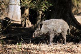 foto of boar  - Wild Boar  - JPG