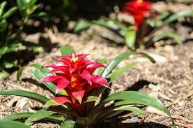 stock photo of bromeliad  - Red Bromeliad blooms in summer in the shade - JPG