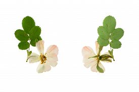 pic of wild-brier  - Pressed and Dried flower wild rose shot from the front and the back of the flower - JPG