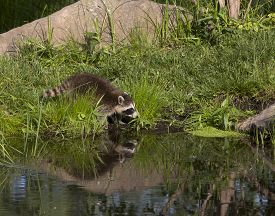 picture of raccoon  - Cute little raccoon drinking form a still lake with some reflection - JPG