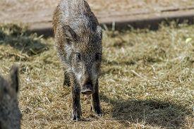 foto of boar  - wild boars living in captivity fenced area - JPG