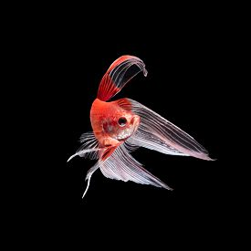 picture of butterfly fish  - Red siamese fighting fish betta fish butterfly tail profile on black background - JPG
