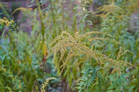 picture of goldenrod  - Beautiful yellow goldenrod flowers blooming - JPG