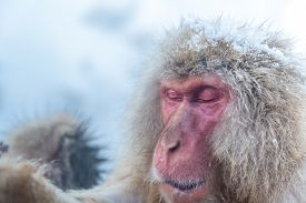 picture of macaque  - Japanese Snow monkey Macaque in hot spring Onsen Jigokudan Park - JPG