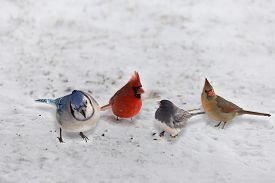 image of snowbird  - Group of Garden Variety Birds feed on the snowy ground - JPG