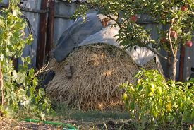 picture of haystacks  - haystack located in the garden next to the apple tree with ripe apples - JPG