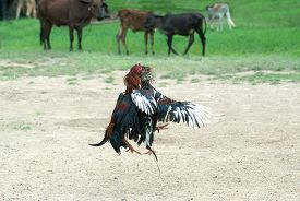 stock photo of game-cock  - Outdoor game of Cockfight In Thailand - JPG