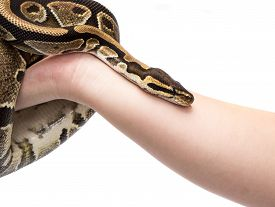 stock photo of pythons  - Holding in hand Ball Python  - JPG