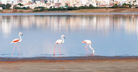 picture of larnaca  - Group of Flamingo birds with reflections walking in the Salt lake of Larnaca Cyprus - JPG