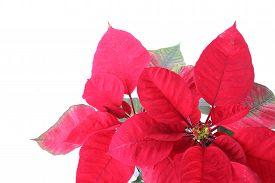 stock photo of poinsettia  - red poinsettia tree isolated on white background - JPG