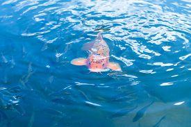 stock photo of koi fish  - Koi fish in blue water - JPG