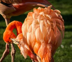 pic of pink flamingos  - Image of Bright pink flamingo on the green background - JPG
