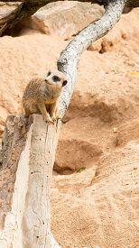 image of meerkats  - Meerkat is one of the most curious animals in zoo - JPG