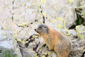 foto of italian alps  - Close up of an alpine marmot along a trekking path italian alps mountain panorama - JPG