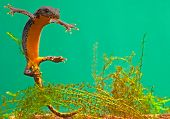 pic of newt  - newt swimming under water aquatic animal amphibian of small freshwater ponds endangered species and protected by nature conservation alpine newt Mesotriton alpestris - JPG