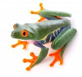 Red eyed tree frog from the tropical rain forest of Costa Rica and Panama. An endangered cute funny  poster