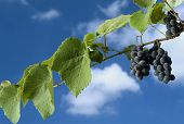 foto of grape-vine  - Isabella grapes on vine against cloudy blue sky - JPG