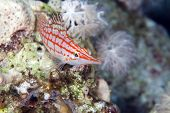 picture of hawkfish  - Longnose hawkfish taken in the Red Sea - JPG