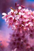 Spring Shidarezakura, Weeping Cherry, Beautiful Pink Cherry Blossom, Blooming Spring Tree, Spring Fl poster