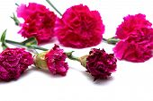 Some Faded Carnations On A White Background poster