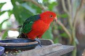 stock photo of king parrot  - Male Australian King Parrot scientific - JPG