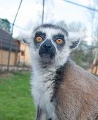 Close-up Of The Face Of A Beautiful Furry Lemur, Looking Directly At The Camera poster