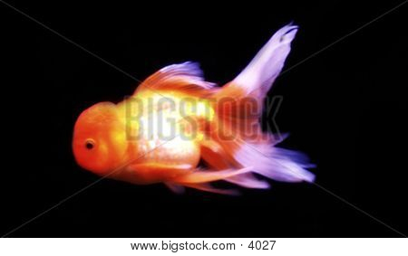 Koi Goldfish poster