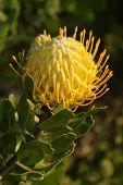 Pincushion Protea, at Kirstenbosch National Botanical Garden, Cape Town, South Africa poster