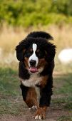 image of hairy tongue  - Bernese mountain dog on a easy jog and tongue out of his - JPG