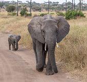 Постер, плакат: Слон матери и ребенка