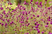 foto of croton  - croton violet color flowers in a garden
