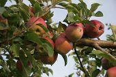 foto of bearings  - mellow apples on a fruit bearing tree - JPG