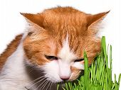 picture of catnip  - Red cat eating green grass isolated on white - JPG