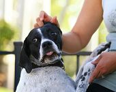 stock photo of scared baby  - a hunting dog spaniel getting petted - JPG