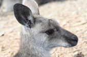 stock photo of opossum  - BRISBANE AUSTRALIA  - JPG