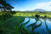 stock photo of rice  - Rice fields of Bali island - JPG