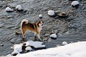 image of bitches  - Bitch West Siberian Laika walking in winter along the river Morava in Litovel