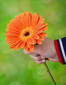 Little hand holding gerber daisy isolated on white