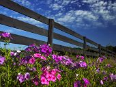 Vinca By The Fences