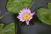 Water lily in a pond in Maui