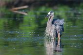 pic of bluegill  - Great Blue Heron fishing in the low lake waters.