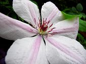 ������, ������: Clematis Nelly Moser