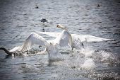 stock photo of trumpeter swan  - Two swans during the departure from the lake