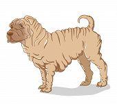 picture of shar pei  - Fatty cute Shar Pei dog - JPG